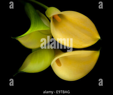 yellow calla lily islolated on black, on a mirror - Stock Photo