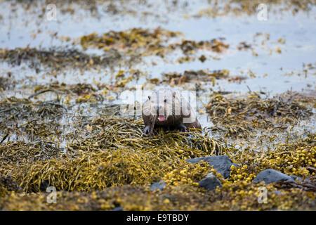 Sea Otter, Lutra lutra, carnivorous semi-aquatic mammal, feeding on eel in natural habitat at side of loch on Isle - Stock Photo