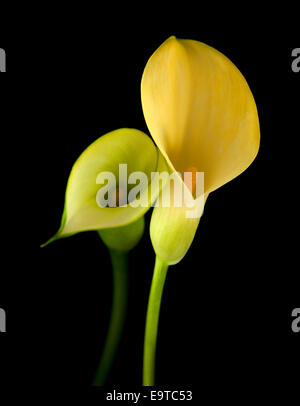 yellow calla lily flower islolated on black background - Stock Photo