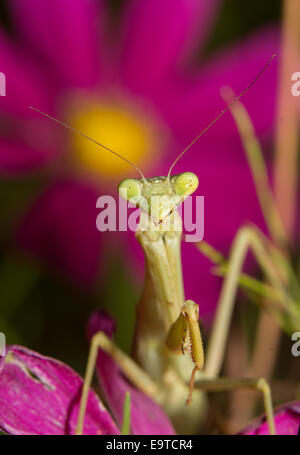 Praying Mantis waiting for prey, with a bright flower on background - Stock Photo