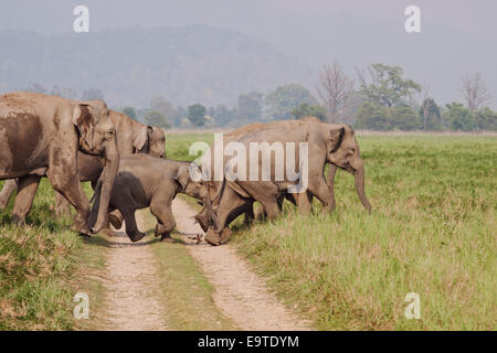 Indian Elephant herd crossing the track - Corbett National Park, India. - Stock Photo