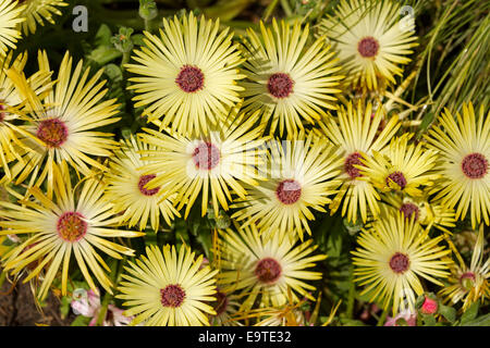 Close up of cluster of beautiful pale yellow flowers with red centres, Livingstone daisies - Cleretum bellidiforme. - Stock Photo