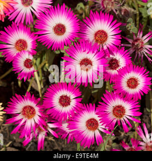 Close up of group of spectacular bright pink & white flowers, Livingstone daisies - Cleretum bellidiforme - Stock Photo