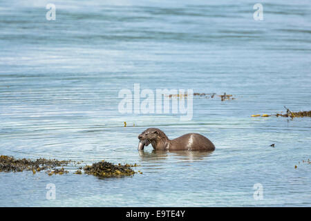 Sea Otter, Lutra lutra, carnivorous semi-aquatic mammal, feeding on conger eel at side of loch on Isle of Mull in - Stock Photo