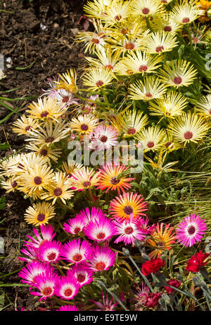 Mass of bright pink & white flowers, Livingstone daisies - Cleretum bellidiforme, beside cluster of yellow ones - Stock Photo