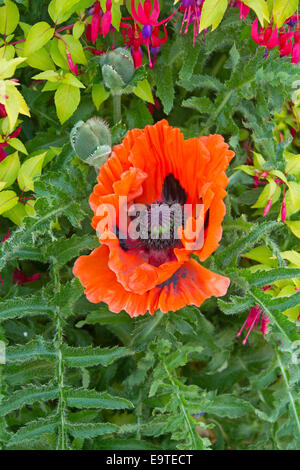 Large vivid orange flower and green leaves and buds of oriental  poppy, Papaver orientale, a spectacular annual - Stock Photo
