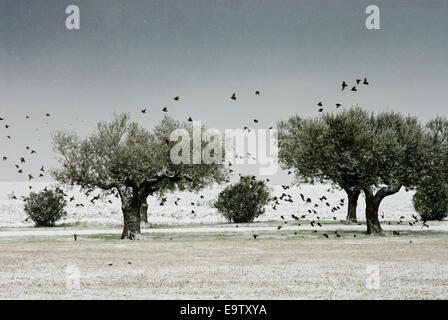 Olive trees in a land and a flock of birds flying away while it's snowing - Stock Photo