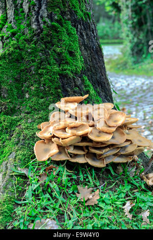Fungus fungi mushroom on a tree at the forest - Stock Photo