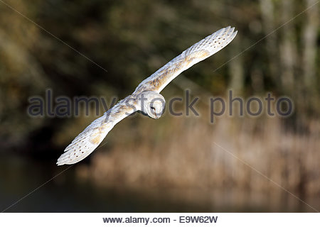 A Barn Owl in flight over a meadow. - Stock Photo