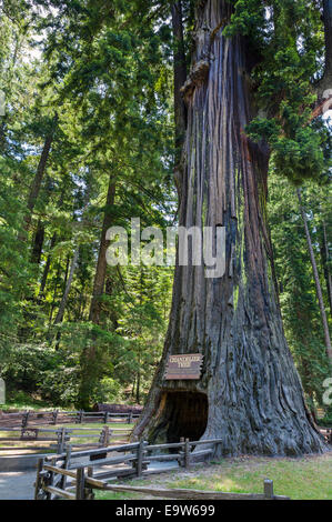 The 2400 year old Chandelier Drive-thru Redwood Tree in Leggett, Mendocino County, Northern California, USA - Stock Photo
