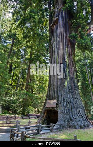 California, Leggett, Chandelier Tree, drive through tree, giant ...