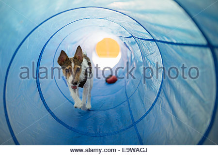 Dog playing in agility tunnel - Stock Photo