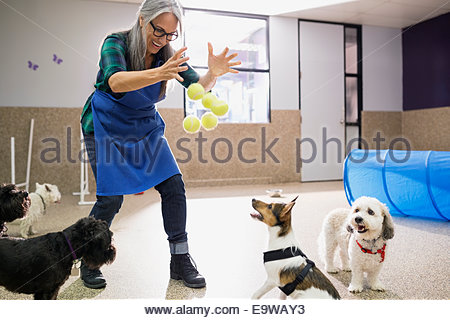 Dog daycare owner throwing tennis balls to dogs - Stock Photo