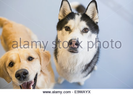 Portrait of Golden Retriever and Siberian Husky - Stock Photo