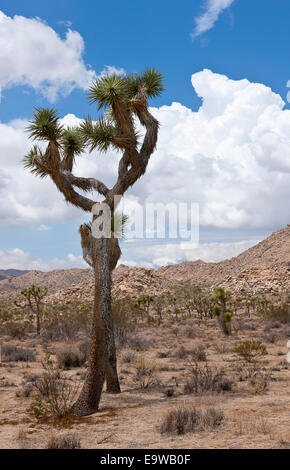 Joshua Tree on its scientific name Yucca brevifolia thrives in the national park with the same name - Stock Photo