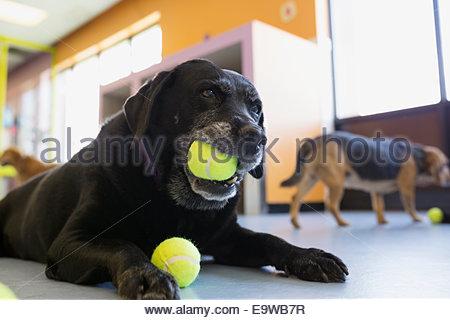 Black Labrador Retriever chewing tennis ball - Stock Photo