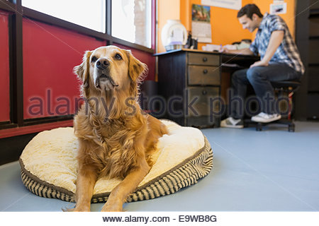 Golden Retriever on bed in dog daycare office - Stock Photo