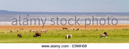 Zebras and cows at Lake Manyara National Park - East Africa - Tanzania - Stock Photo