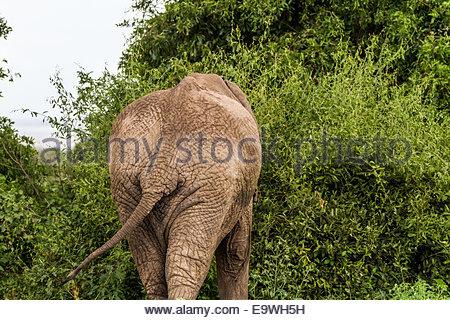 Elephant at Lake Manyara National Park - Tanzania - Stock Photo