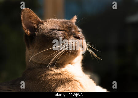 Thirteen year old, Rocky, a male brown pedigree Burmese cat relaxing in the late afternoon sunlight outside his - Stock Photo