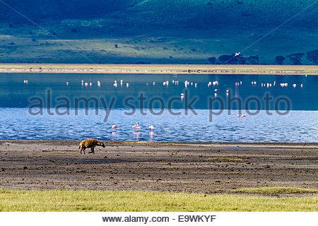 Flamingos and Golden Jackal at Ngorongoro conservation area - East Africa - Tanzania - Stock Photo