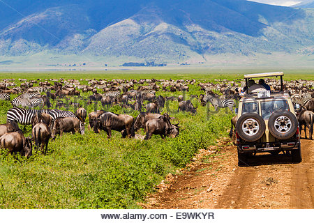 Tourists taking photographs of wildebeests and zebras in national park - East Africa - Tanzania - Stock Photo