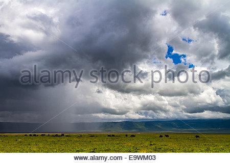 African buffalos standing in grassland - East Africa - Tanzania - Stock Photo