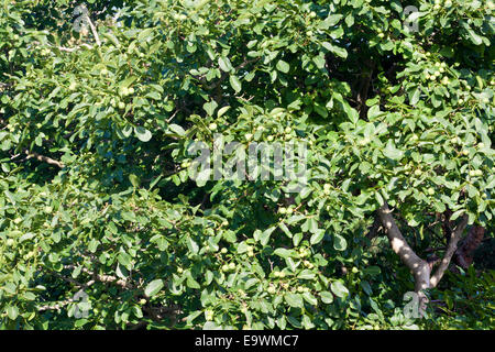 Foliage of a Walnut Tree with ripening walnuts. - Stock Photo
