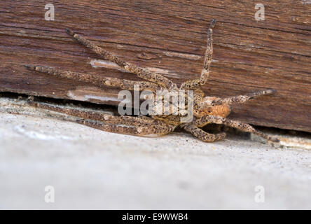 Can bite.Zoropsis spinimana spider . - Stock Photo
