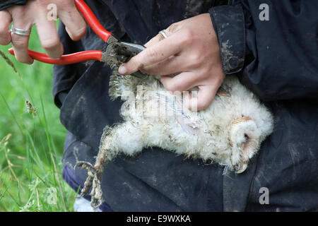 Ringing barn owl chick (Tyto alba), Northumberland, UK - Stock Photo