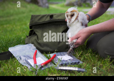 Ringing wild barn owl chick (Tyto alba), Cumbria, UK - Stock Photo