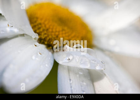 Cultivated daisy, detail, in garden border after rain, UK, August 2010 - Stock Photo