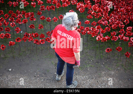 A volunteer looking at the sea of red poppies before her. - Stock Photo