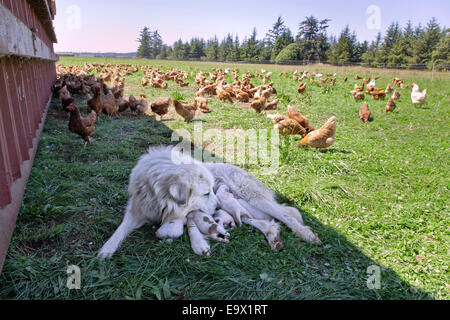 Great Pyrenees mother with one week old puppies, free roaming Eco organic chickens. - Stock Photo