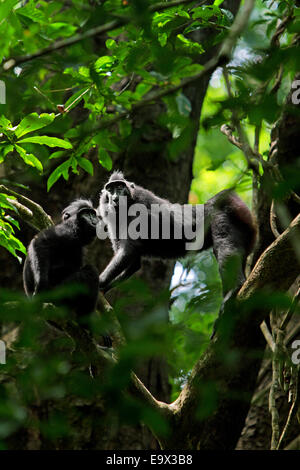 A pair of Sulawesi black-crested macaque (Macaca nigra) in Tangkoko nature reserves, North Sulawesi. © Reynold Sumayku - Stock Photo