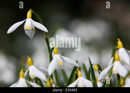 Yellow snowdrop, the 'Northumberland Yellow' (Galanthus nivalis Sandersii group), Howick Hall, Northumberland, UK - Stock Photo