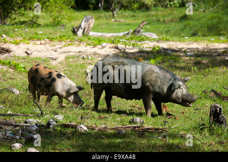 Dominikanische Republik, Osten, El Cedro, Schweine am Strand Playa Limon - Stock Photo