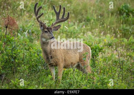 Mule deer buck during the summer in Montana - Stock Photo