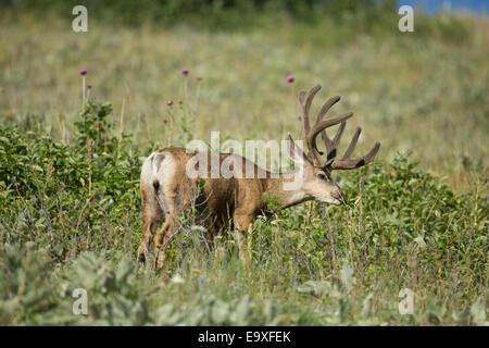 Mule deer buck with antlers in velvet during late summer - Stock Photo