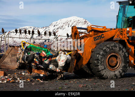 Bulldozer picks up bale of garbage while bald eagles look on from fence perch in Kodiak landfill, Southwest Alaska - Stock Photo