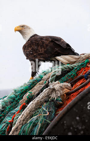 Bald eagle perched on fishing net in search of scraps during snow squall in Kodiak, Alaska - Stock Photo