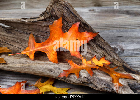 Large Oak leaf, in fall color, inside aged driftwood on rustic wooden boards - Stock Photo