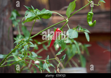 how to use a tomato cage in a container