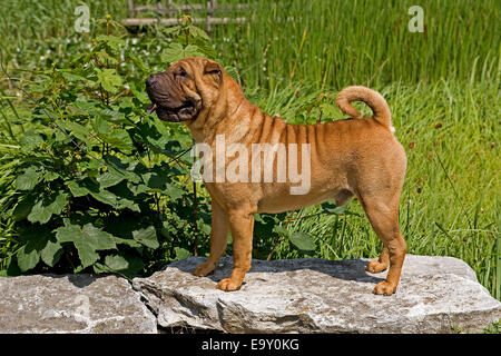 Shar-Pei or Chinese Shar-Pei, red coat - Stock Photo