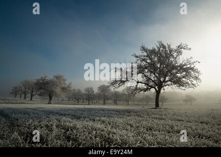 Hoar frost covered grass and apple trees on a foggy morning, Baden-Württemberg, Germany - Stock Photo