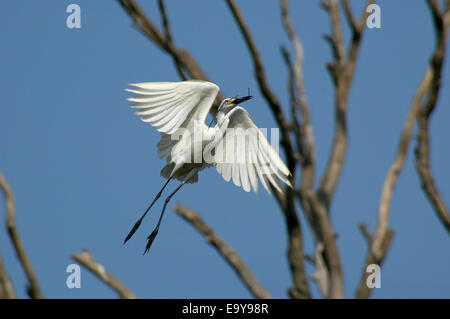 A white little egret flies to build its nest in Jakarta coastal zone, Indonesia. - Stock Photo