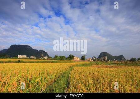 Guilin rice mature - Stock Photo