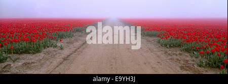 Agriculture - Road through a commercial field of red tulips in a heavy early morning fog / Skagit Valley, Washington, - Stock Photo