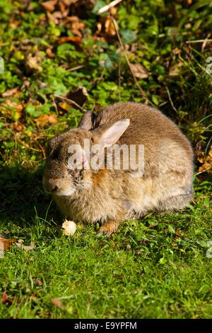Rabbit with swollen closed eye due to Myxomatosis disease. - Stock Photo