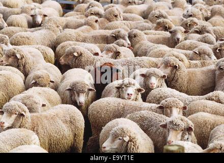 Livestock - Sheep in holding pen awaiting shearing / California, USA. - Stock Photo